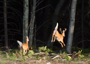 beacon-deer-jump-1