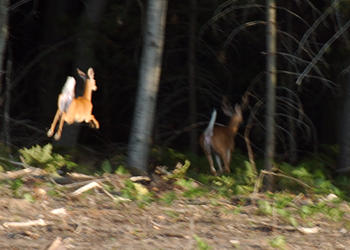 beacon-deer-jump-2